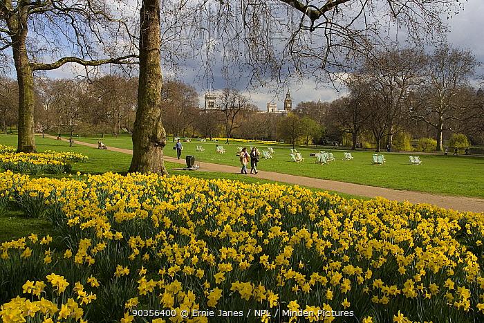 Daffodils flowering in St James Park, London, UK, in spring  -  Ernie Janes/ npl
