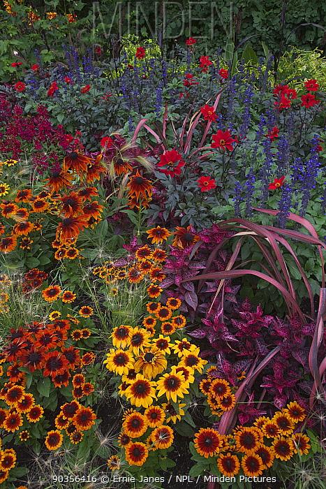 Sunflowers and Dahlias flowering in Regents Park, London, UK  -  Ernie Janes/ npl