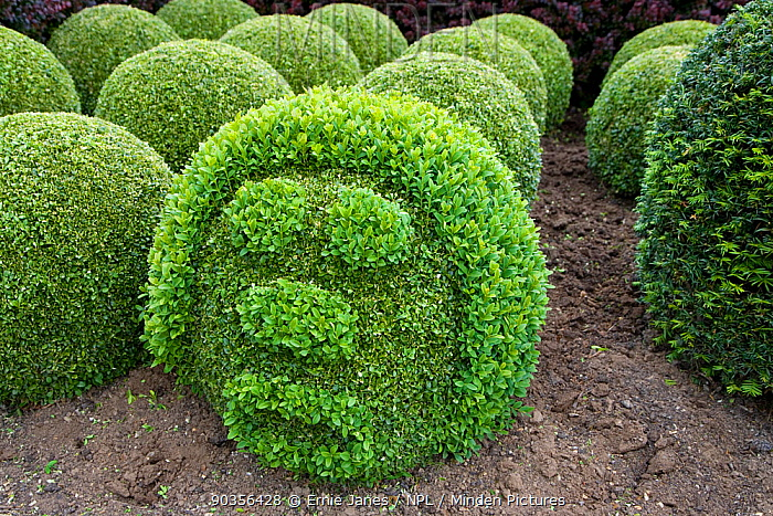 Topairy globes and funny face in garden, Box trees (Buxus sp), Norfolk, UK  -  Ernie Janes/ npl