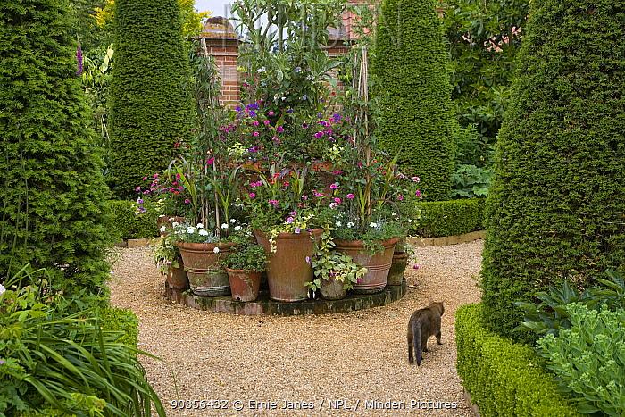 Cat walking past floral container display in garden, Norfolk, UK  -  Ernie Janes/ npl