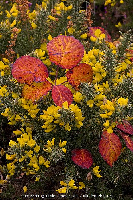 Gorse (Ulex europaeus) and Bramble leaves, Norfolk, UK  -  Ernie Janes/ npl
