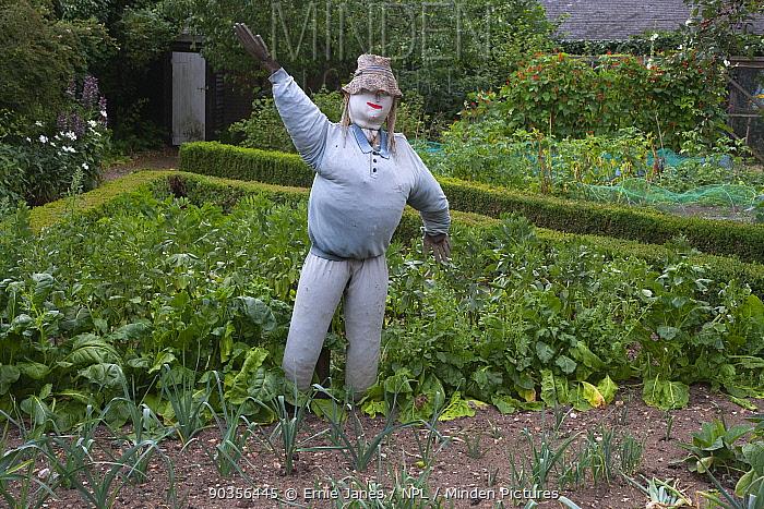 Garden scarecrow in vegetable garden, Norfolk, UK  -  Ernie Janes/ npl