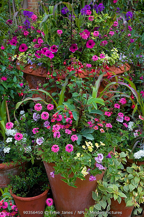 Floral container display in garden, Norfolk, UK  -  Ernie Janes/ npl
