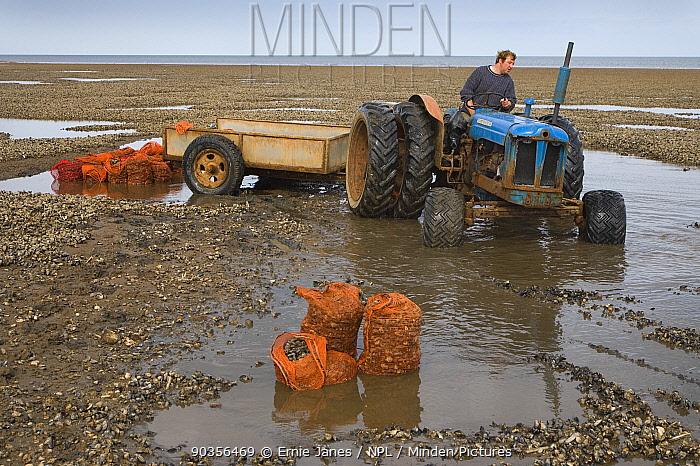 Fisherman gathering Mussels (Mytillus sp) on The Wash at low tide, Norfolk, UK  -  Ernie Janes/ npl