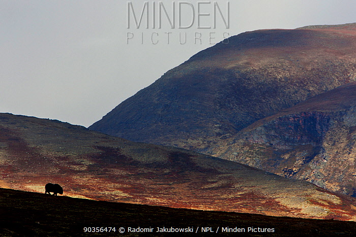 Young muskox (Ovibos moschatus) silhouetted agains hills, Dovrefjell national park, Norway, October Winner, Junior portfolio, GDT 2011 Competition  -  Radomir Jakubowski/ npl