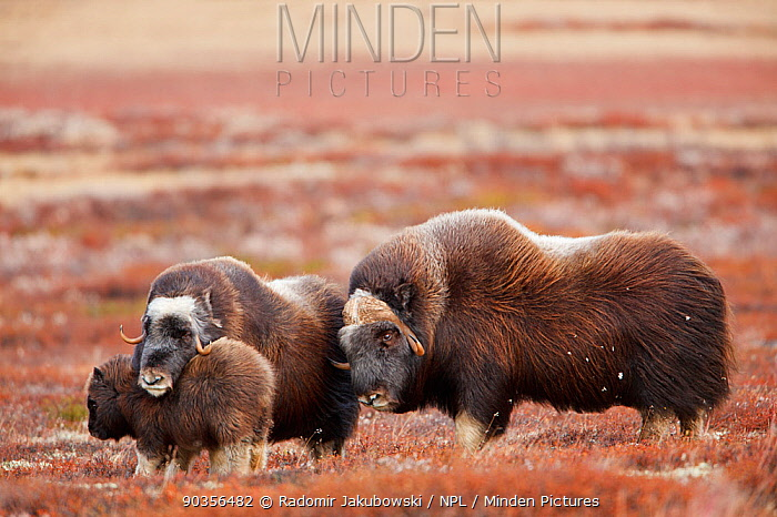 Muskoxen (Ovibos moschatus) mother protecting young, approached by male, Dovrefjell national park, Norway, September  -  Radomir Jakubowski/ npl