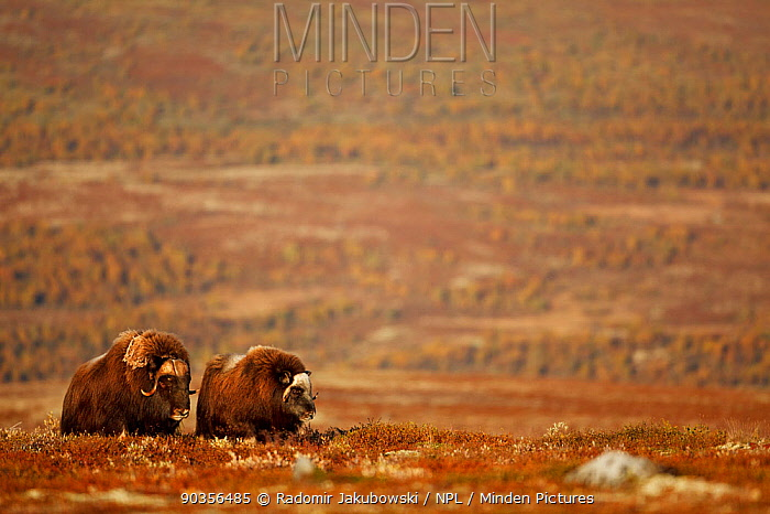 Two Muskox (Ovibos moschatus) in landscape, Dovrefjell national park, Norway, September  -  Radomir Jakubowski/ npl