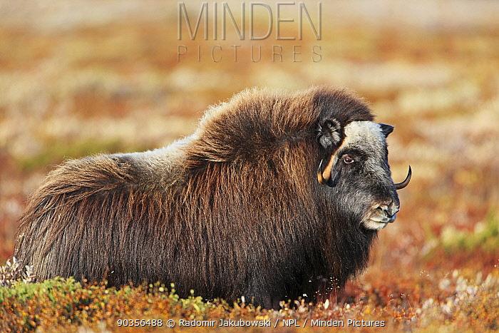 Muskox (Ovibos moschatus) Dovrefjell national park, Norway, September  -  Radomir Jakubowski/ npl