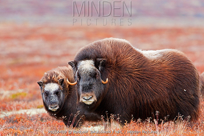 Muskox (Ovibos moschatus) female with young, Dovrefjell national park, Norway, September  -  Radomir Jakubowski/ npl