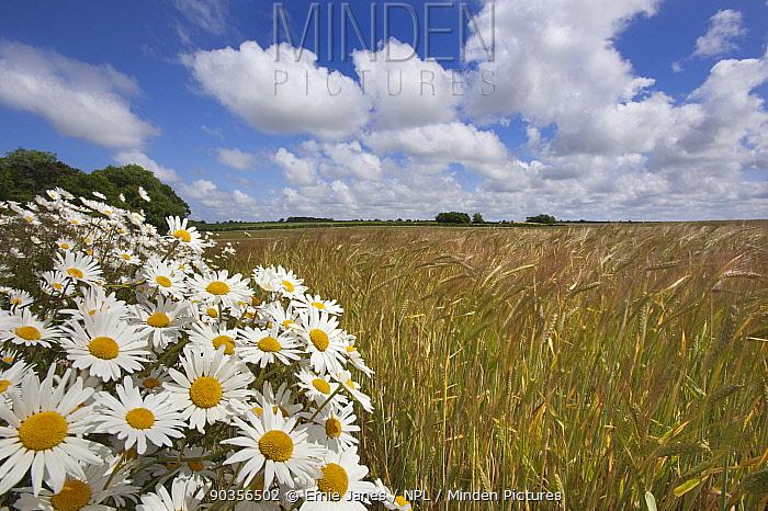 Ox-eye daises, marguerite (Leucanthemum vulgare) flowering on headland margin of Barley field, farmland, UK  -  Ernie Janes/ npl