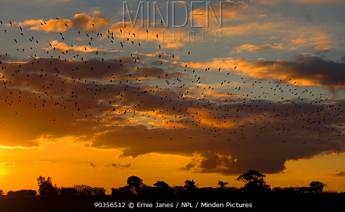Flock of Golden plover (Pluvialis apricaria) flying to roost at sunset, Gimingham, Norfolk, UK  -  Ernie Janes/ npl
