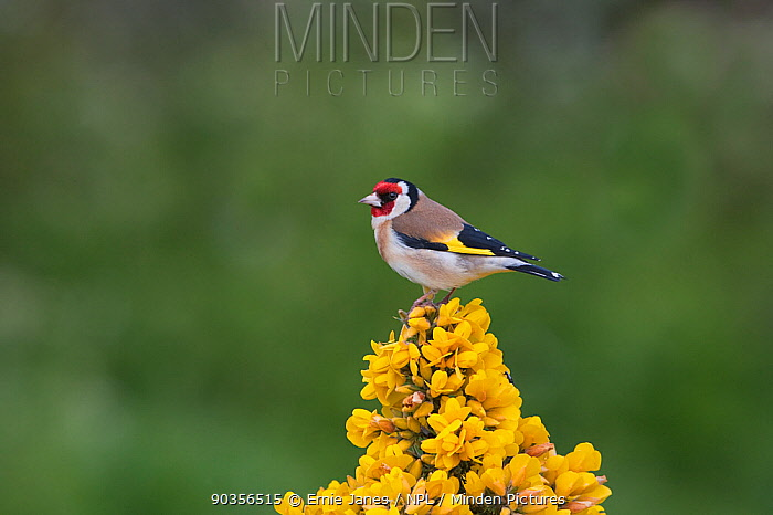 Goldfinch (Carduelis carduelis) perched on Gorse, UK  -  Ernie Janes/ npl
