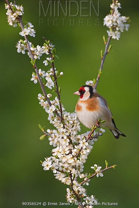 Goldfinch (Carduelis carduelis) perched amongst Spring Blossom, UK  -  Ernie Janes/ npl