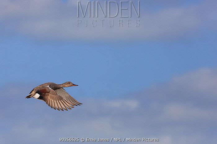 Gadwall (Anas strepera) drake in flight, Norfolk, UK  -  Ernie Janes/ npl