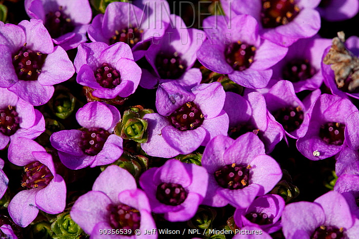 Purple Saxifrage (Saxifraga oppositifolia) in flower, Svalbard, Spitzbergen, Norwiegan Arctic, July 2009, Taken on location for the BBC series, Frozen Planet  -  Jeff Wilson/ npl