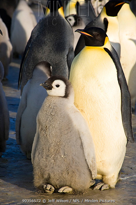 Emperor penguin (Aptenodytes forsteri) adult and chick in colony, Cape Crozier, Antarctica, November 2009 Taken on location for BBC series, Frozen Planet, Spring  -  Jeff Wilson/ npl