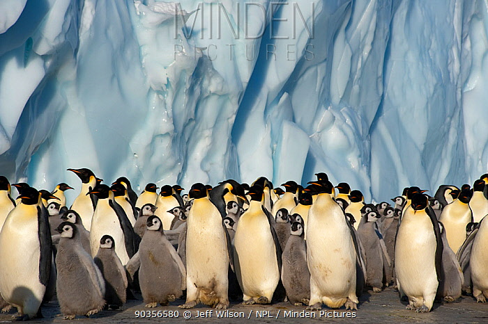 Emperor penguin (Aptenodytes forsteri) adults and chicks in colony beside ice cliff, Cape Crozier, Antarctica, November 2009 Taken on location for BBC series, Frozen Planet, Spring  -  Jeff Wilson/ npl