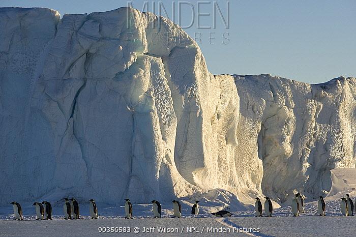 Emperor penguin (Aptenodytes forsteri) adults walking in line beside ice cliff, Cape Crozier, Antarctica, November 2009 Taken on location for BBC series, Frozen Planet, Spring  -  Jeff Wilson/ npl