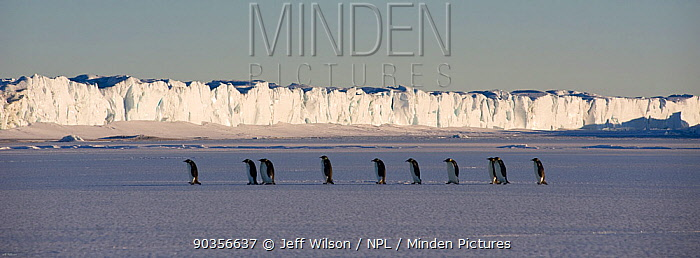 Emperor penguin (Aptenodytes forsteri) adults walking in line across ice with ice cliff in the background, Cape Crozier, Antarctica, November 2009 Taken on location for BBC series, Frozen Planet, Spring  -  Jeff Wilson/ npl