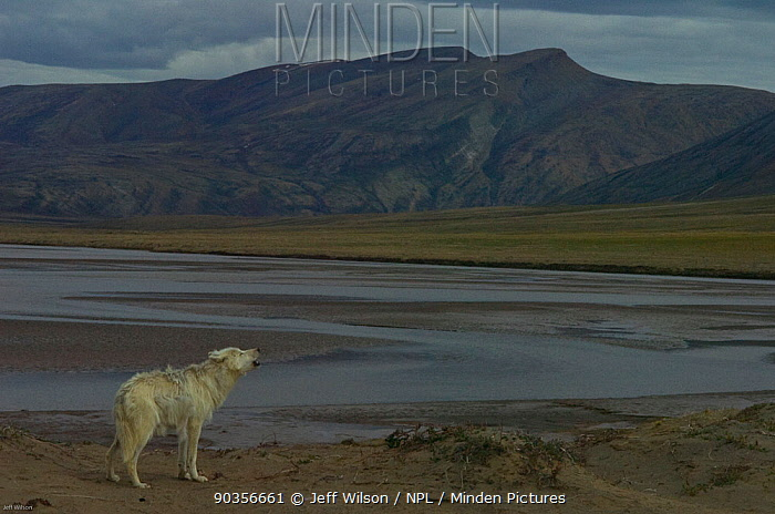 Adult Arctic wolf (Canis lupus) howling on tundra landscape, Ellesmere Island, Nunavut, Canada, June 2008, Taken on location for the BBC series, Frozen Planet  -  Jeff Wilson/ npl