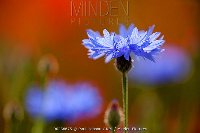 Wild flower meadow, Cornflower (Centaurea montana) Derbyshire, UK  -  Paul Hobson/ npl