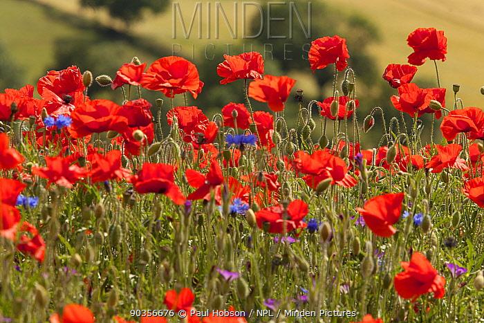 Wild flower meadow, Common poppy (Papaver rhoeas) Derbyshire, UK  -  Paul Hobson/ npl