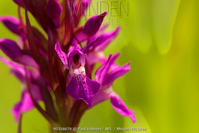 Southern Marsh orchid (Dactylorhiza praetermissa) close up of flower, Gibralter Point NNR, Lincolnshire, UK, June  -  Paul Hobson/ npl