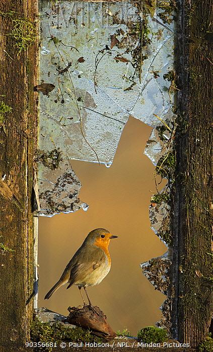 Robin (Erithacus rubecula) perched in broken window, UK, February  -  Paul Hobson/ npl