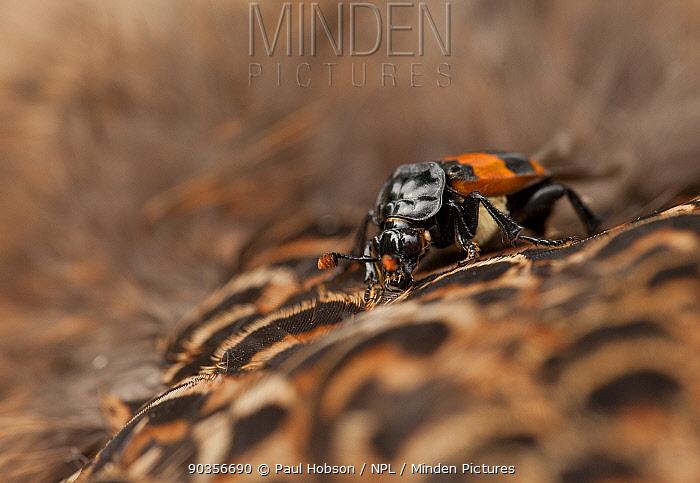 Sexton beetle (Nicrophorus vespilloides) on dead Pheasant (Phasianus sp), UK, July  -  Paul Hobson/ npl