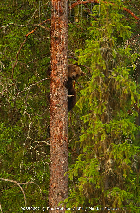 Brown bear (Ursus arctos) climbing tree trunk, Finland, June  -  Paul Hobson/ npl