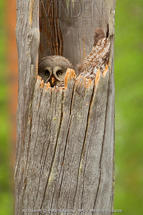 Great grey owl (Strix nebulosa) peering from nest hole in hollow tree trunk, Finland, June  -  Paul Hobson/ npl