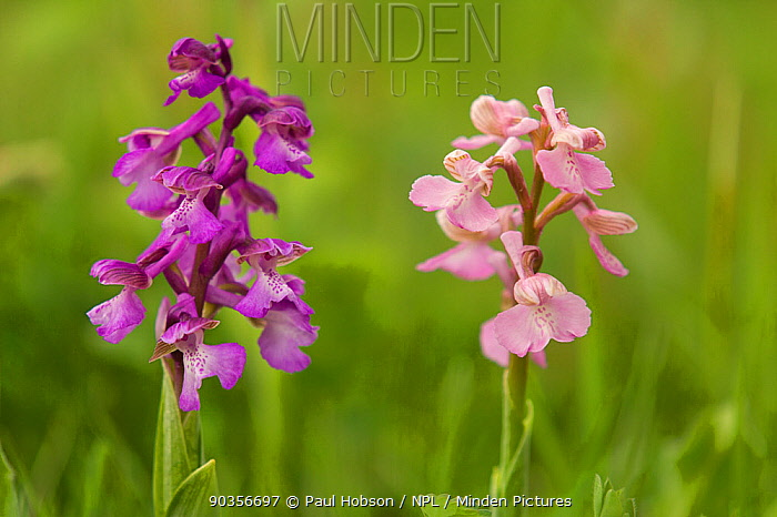 Green-winged orchid (Orchis morio) two flowers of different colours, Lincolnshire, UK, May  -  Paul Hobson/ npl