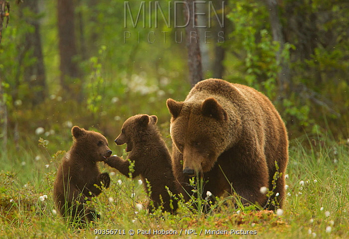 Brown bear (Ursus arctos) adult female with two cubs playing, Finland, June  -  Paul Hobson/ npl