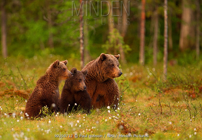 Brown bear (Ursus arctos) adult female with two cubs, Finland, June  -  Paul Hobson/ npl