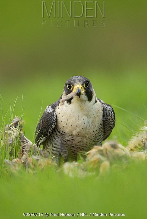 Peregrine falcon (Falco peregrinus) male on kill in grass field, captive, UK  -  Paul Hobson/ npl
