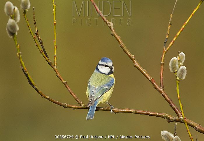 Blue tit (Parus caeruleus) perched on pussy willow catkins (Salix sp), Yorkshire, UK, April  -  Paul Hobson/ npl