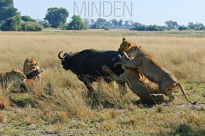 African lion (Panthera leo) pack of lioness bringing down a Buffalo (Syncerus caffer), Okavango Delta, Botswana, July 2007  -  Sergey Gorshkov/ npl
