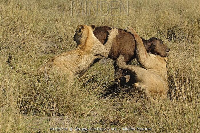 African lion (Panthera leo) two lioness bring down a young Buffalo (Syncerus caffer), Okavango Delta, Botswana, July 2007  -  Sergey Gorshkov/ npl