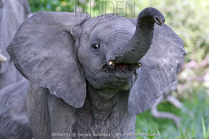 African elephant (Loxodonta africana) young looking curious, extending its trunk, Okavango Delta, Botswana, January  -  Sergey Gorshkov/ npl