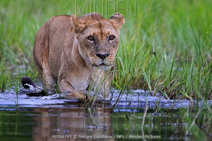 African lion (Panthera leo) lioness entering water, Okavango Delta, Botswana, January  -  Sergey Gorshkov/ npl