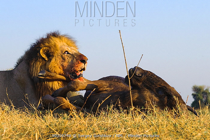 African lion (Panthera leo) male feeding on dead Wildebeest, Okavango Delta, Botswana, September  -  Sergey Gorshkov/ npl