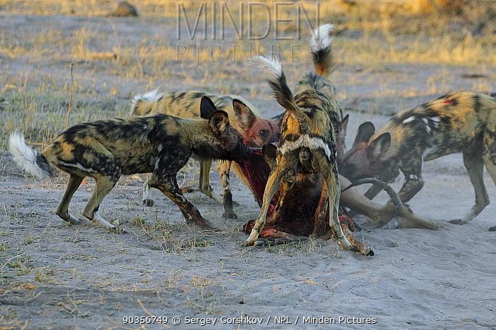 Pack of African wild dogs (Lycaon pictus) tearing apart antelope carcass, Okavango Delta, Botswana, July  -  Sergey Gorshkov/ npl