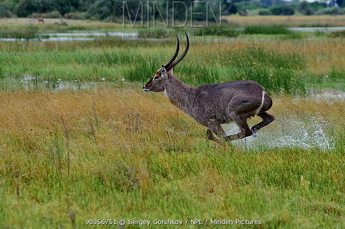 Waterbuck (Kobus ellipsiprymnus) male running through wetlands, Okavango Delta, Botswana, April  -  Sergey Gorshkov/ npl
