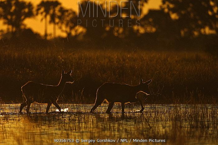 Ttwo Lechwe (Kobus leche) wading through wetlands at dusk, Okavango Delta, Botswana, April  -  Sergey Gorshkov/ npl