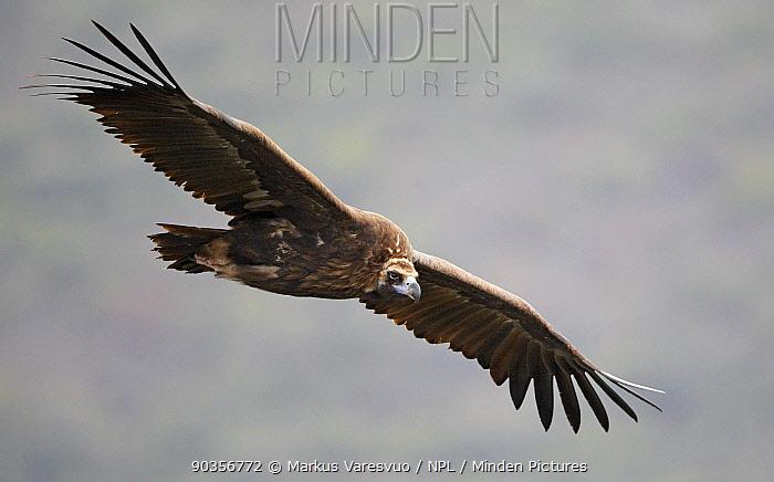 Black Vulture (Aegypius monachus) in flight Spain, December  -  Markus Varesvuo/ npl