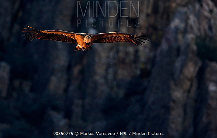Griffon Vulture (Gyps fulvus) in flight, side-lit by afternoon sun Spain, December  -  Markus Varesvuo/ npl
