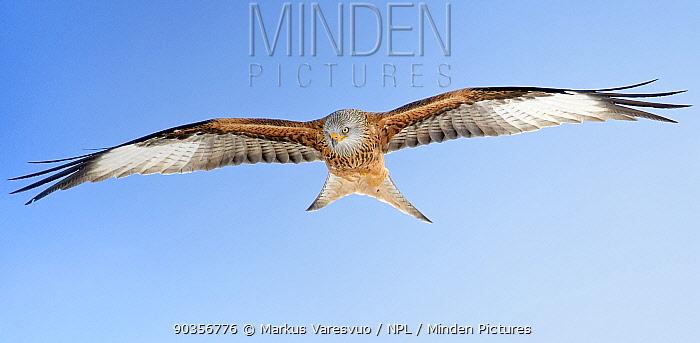 Red Kite (Milvus milvus) in flight showing underwing plumage Spain, November  -  Markus Varesvuo/ npl