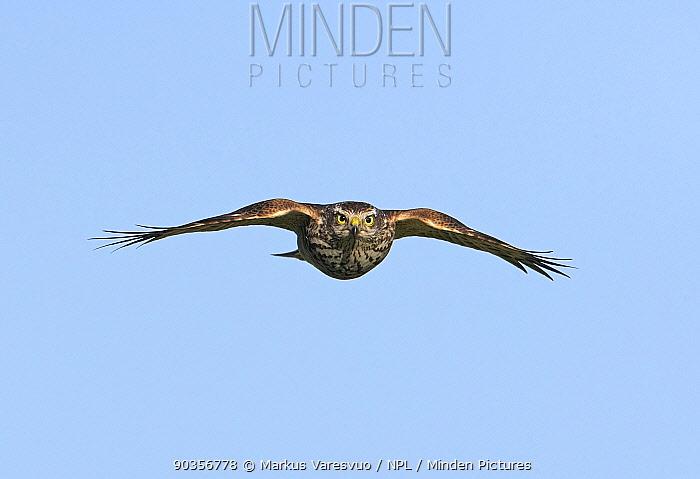Sparrow Hawk (Accipiter nisus) in flight Hanko, Finland, September  -  Markus Varesvuo/ npl