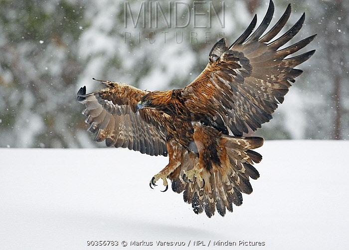 Golden Eagle (Aquila chrysaetos) flying low over snow with talons brandished Kuusamo, Finland, February  -  Markus Varesvuo/ npl