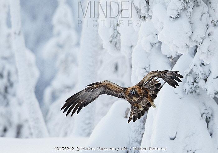 Golden Eagle (Aquila chrysaetos) flying among snow-bound trees Kuusamo, Finland, February  -  Markus Varesvuo/ npl